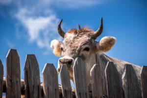 cow vegan snacks